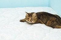 На такой кровати явно не поспишь: как вывести запах кошачьей мочи с матраса